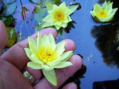 water lily helvola   very dwarf helvola hardy lily