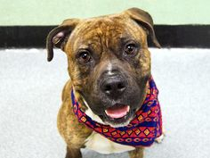 GONE - 03/20/15 Manhattan Center   My name is SHERMAN. My Animal ID # is A1025919. I am a male br brindle and white american staff mix. The shelter thinks I am about 3 YEARS old. ** RELEASED FROM DOH HOLD FOR RESCUE ONLY 3/17/15 ***For more information on adopting from the NYC AC&C, or to find a rescue to assist, please read the following: http://urgentpetsondeathrow.org/must-read/