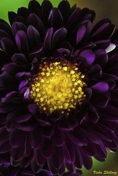 PURPLE ASTER FLOWER Flowers Garden Love - via: flowersgardenlove: - Imgend