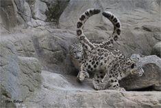 https://flic.kr/p/swXb28   just O!   The Snow leopard twins Orya and Okara - Zoo Zürich, Switzerland