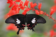East Asian butterfly (Papilio helenus) by Stéphane Bidouze on 500px