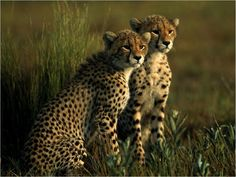 cheetahs with photos | Cheetah Cheetah cubs