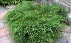 tuivio Home And Garden, Herbs, Plants, Garden, Outdoor, Outdoor Gardens, Conifers, Garden Plants