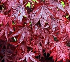 Red Willow Maple Tree