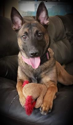 K9 Maize is so beautiful Belgian Malinois For Sale, Malinois Puppies For Sale, Wolfsbane, Dogs For Sale, Writing, Beautiful, Dogs, Doggies, Animaux