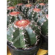 Melocactus bahiensis plant photo - Home Gardening for Beginners Gardening For Beginners, Cactus Plants, Globe, Home And Garden, Wall Decor, Wallpapers, Stock Photos, Table Decorations, Projects