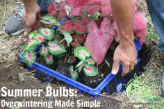 Make saving summer bulbs for next year simple with this overwintering short cut technique. Overwintering, Replant, Container Gardening, Gardening Tips, Flower Gardening, The Gardner, Summer Bulbs, Family Garden, Lots Of Money
