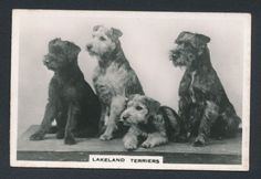 Lakeland Terriers from series Dogs by Senior Service Cigarettes card #11