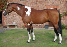 bay tobiano walking horse stallion   Tested Homozygous Tobiano Stallion so he will always produce ...