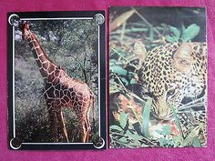 2 Vintage Postcards from Kenya~Leopard~~Giraffe~ from 1970's