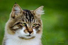 LynxTail male lillyclan warrior Breyanna Lenox is this kitteh