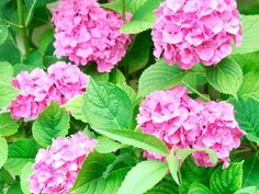 If you ever wished for a dreamy hydrangea garden, you'll love these simple tips for growing healthy, beautiful hydrangeas. From planting to pruning, watering, and fertilizing, you'll have everything you need. #hydrangeas #lanscaping #hydrangeaflowers #pinkhydrangeas #bluehydrangeas #purplrhydrangeas #romanticflowers Rooting Hydrangea Cuttings, Hydrangea Bush, Hydrangea Care, Hydrangea Not Blooming, Hydrangea Flower, Garden Care, Garden Tips, Garden Ideas, Large Plant Pots