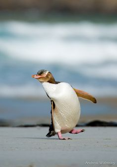 Happy+feet+by+Andrew+Walmsley+on+500px  Oh my how I love Penguins. Always have!