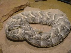 Puff adder (Bitis arietans) | How To Get Rid Of Poisonous and Deadly Snake by Survival Life at http://survivallife.com/2015/04/13/survival-skills-venomous-snakes