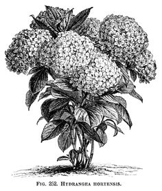 Here is a beautiful vintage clip art illustration of a Hydrangea Hortensis in full bloom. The engraving is from the Illustrated Dictionary of Gardening – A Practical and Scientific Encyclopedia of …
