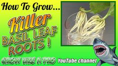 Growing Killer Roots On Basil Leaves And Planting Basil Leaves, Vegetable Gardening, Planting, Roots, Channel, Watch, Twitter, Youtube, Veggie Gardens