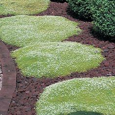 """Irish Moss Shade - Sun - Green all year - Irish Moss forms a lush emerald green carpet of moss-like foliage with delicate white flowers in midsummer. Hardy enough for sunny or shady locations. Flowers bloom on short 2-4"""" stalks. Irish Moss is just the ground cover you need for rock gardens and planting between stepping stones or pavers. Stays green all year. Plant 12"""" apart. Evergreen."""