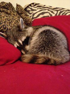 "A Raccoon ~ ""All Snuggled Up."""