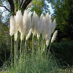 Rare Pampas Garss,Pampas Seed,Pampas Grass Plant,Ornamental Plant Flowers Cortaderia Selloana Grass Seeds for home garden Tall Plants, Outdoor Plants, Moon Garden, Grass Seed, Drought Tolerant Plants, Ornamental Plants, White Gardens, Flower Beds, Backyard Landscaping