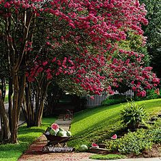 Crepe myrtle trees. Reason alone to live in the south!
