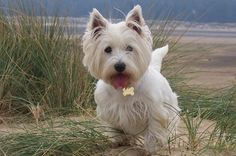 westhighland terriers - Inquisitive, playful, loving little critters, full of energy.  They simply ARE the best! Next dog looking into it.. In due time.. In due time :)