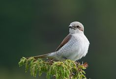 Red-backed Shrike F, Norway Eagle Bird, Sketching, Norway, Birds, Models, Friends, Happy, Red, Animals