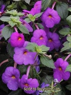 Showers of colorful flowers makes Achimenes a beautiful house plant. Find out how to care for Achimenes indoors, how to start plants from rhizomes, and why it& called Hot Water Plant. Growing Orchids, Growing Flowers, Planting Flowers, Orchid Plant Care, Orchid Plants, Flowering Plants, Water Flowers, Water Plants, Chinese Evergreen Plant