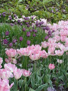 Beautiful Tulips blooming in Puyallup, Washington