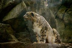 Snow leopard in the rocks.. by lohitv9 on 500px