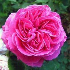 Madame Isaac Pereire ~ Bourbon Rose
