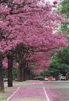 Ipê- roxo is a typical tree with beautiful flowers. In Maringá city, Paraná, my city! Colorful Trees, Small Trees, Pink Trees, Trees And Shrubs, Flowering Trees, Beautiful World, Beautiful Places, Tree Forest, Beautiful Landscapes