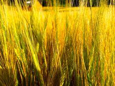 der Rohstoff für eine leckere Weizenkaltschale | CYCLE THE WORLD