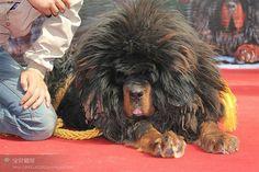 Tabetin mastiff  so fluffy