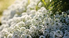Sweet Alyssum - Tiny blooms on this delicate annual beckon to pollinators. Sweet alyssum looks lovely cascading from containers, window boxes and hanging baskets or tucked into a rock garden as a flowering ground cover. Likes full to part sun. Try: •Snow Princess: profuse white blooms all season long without deadheading •Dark Knight: deep purple blooms pair well with other annuals in containers