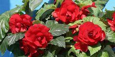 A gumós begónia teleltetése, gondozása és ültetése Garden Soil, Garden Beds, Tuberous Begonia, Dappled Light, Patio Planters, Liquid Fertilizer, Organic Matter, Types Of Soil, Flower Seeds