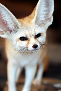 theanimaleffect:    Fennec fox by floridapfe on Flickr.