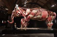 """Animals Inside Out"" is an exhibition of animal corpses that have been perfectly preserved with plastic polymers in a process called ""plastination"". The exhibition is by plastination inventor Dr. Gunther von Hagen."