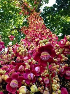 "Cannonball Tree (Couroupita guianensis) with flowers. This tree also has ""cannonballs"" with the Brazil nut in it that fall to the ground when ripe. Unusual Flowers, Unusual Plants, Rare Flowers, Exotic Plants, Amazing Flowers, Beautiful Flowers, Yellow Flowers, Trees And Shrubs, Flowering Trees"