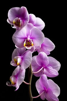 Moth Orchid Benefits: Said to remove VOCs (volatile organic compounds) and formaldahyde commonly off-gased from paints, solvents and other synthetic materials. Notes: Thrives in high humidity, lots of light (but not hot, mid-day sun) and thorough waterings with, unlike many types of houseplants, almost complete drying out between.