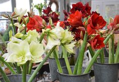Amaryllis is the most magnificant flower for christmas.