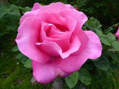 (191) The Friends of Vintage Roses