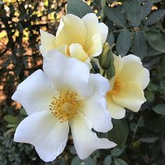 This refreshing bloom, Mermaid™ brings a cool ocean breeze to any landscape. Traditional Roses, Pretty Roses, Climbing Roses, Creepers, Shrubs, Perennials, Breeze, Vines, Grass