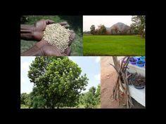 Medicinal Rice B4 Formulations for Retina Detachment: Pankaj Oudhia's Me...
