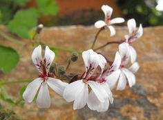 Pelargonium fragans