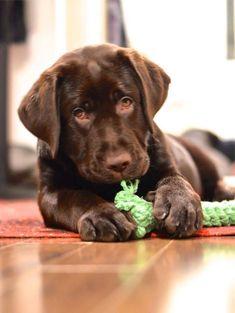 Gorgeous chocolate lab puppy