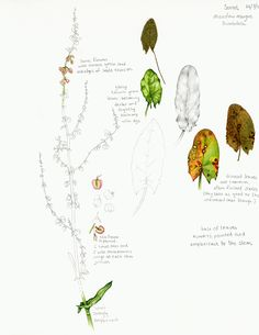 Lizzie Harper natural history illustration botanical illustration of sorrel from The Hedgerow Handbook by Adele Nozedar