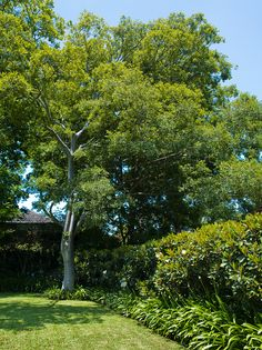 Magnolia hedge