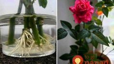 How to root a rose from a bouquet. Use natural stimulants for root formation! - The World of Plants Balcony Garden, Herb Garden, Indoor Garden, Indoor Plants, Plant Cuttings, Growing Roses, Garden Care, Farm Gardens, Ikebana