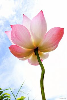 Lotus Blooms - Lovely!