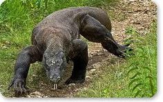 Komodo-dragon, you can only find it in Indonesia. Big Iguana, Lizard Dragon, Komodo National Park, Komodo Island, Animal Totems, Reptiles And Amphibians, All Gods Creatures, Pictures To Draw, Beautiful Creatures